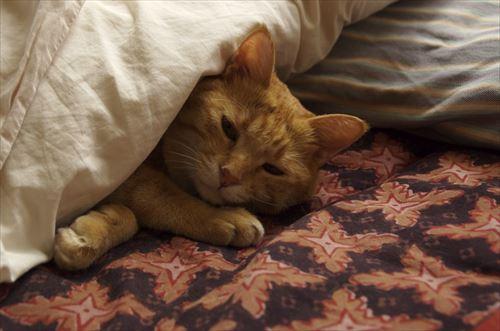 羽毛布団に入って眠る猫
