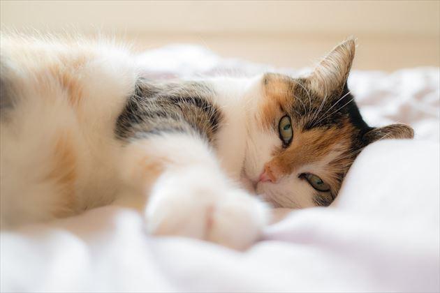 ベッドに横たわる猫