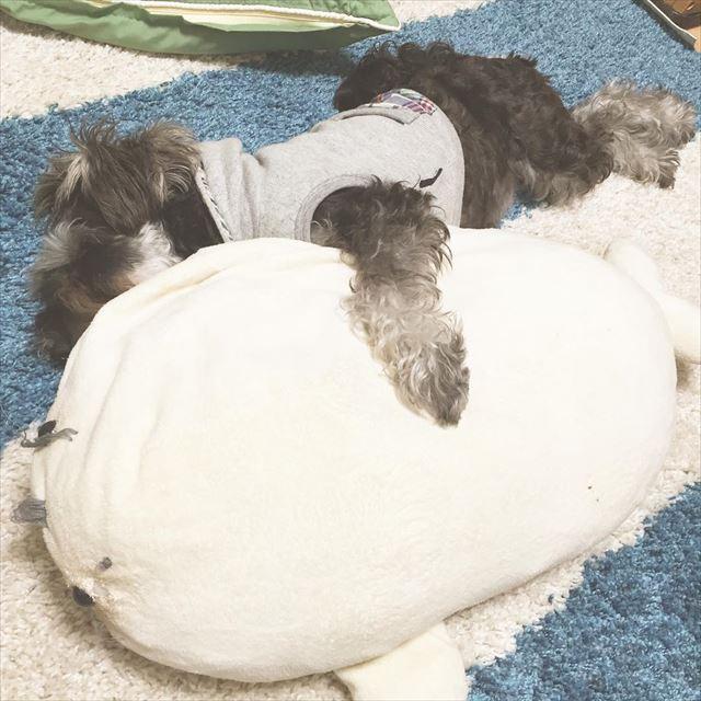 抱き枕で眠る犬の画像