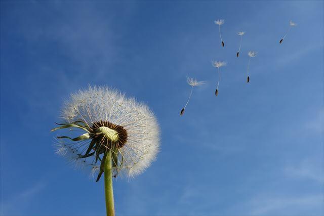 風に吹かれて種を飛ばすたんぽぽの画像