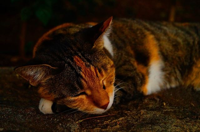 眠る猫の画像